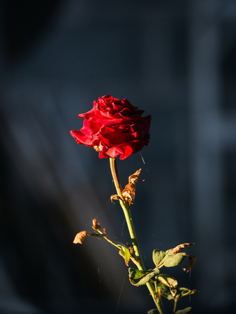 The Old Red Rose Almost Witherd in a Garden