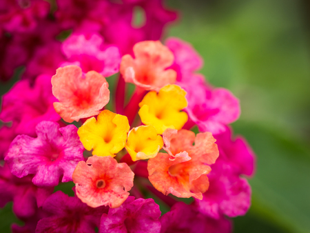 The Bunches of Yellow Red Pink  Hedge Flowers Blooming in The Garden