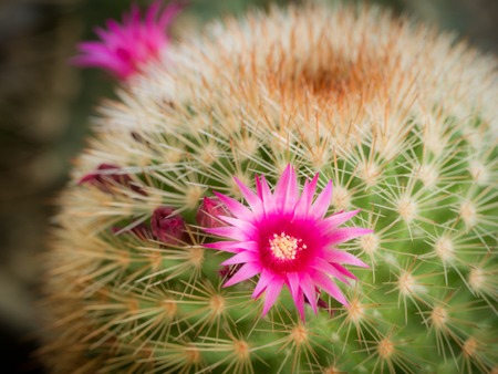 The Pink Cactus Flower Blooming in The Garden Stok Fotoğraf