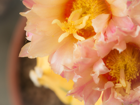 The Yellow Pollen of White Pink Cactus Flower Blooming