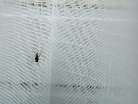 The Green Fly Perched on The White Curtain in a House