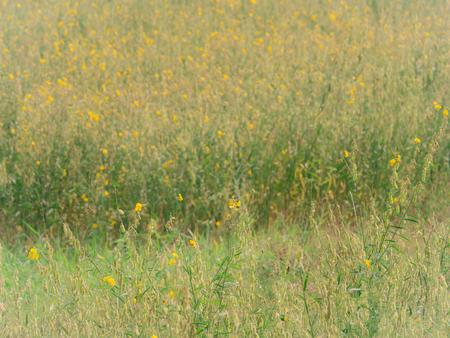 The Yellow Sunhemp Flowers  in The Field Stock Photo