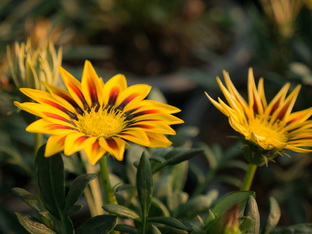 The Yellow Stripted Red Gazania Blooming in The Field