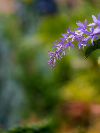 The Bouquet of Purple Wreath Flower Blooming in The Garden 版權商用圖片
