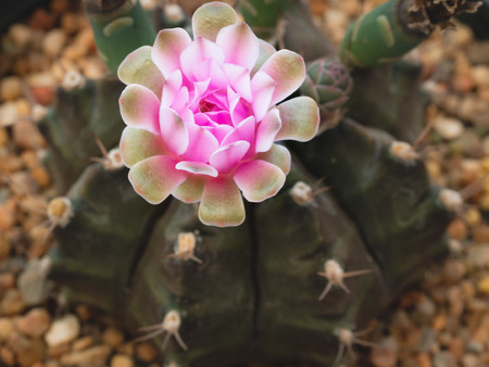 The Pink Cactus Flowers Blooming in The Pot