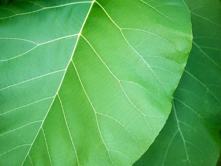 The Big Teak Leaf in The Garden