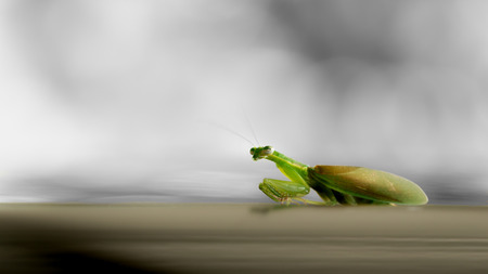 The Grasshopper Relaxed on The Car Roof behind The Black and White Background Standard-Bild