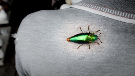 The Jewel Beetle on The Back of The Man in The Garden 免版税图像
