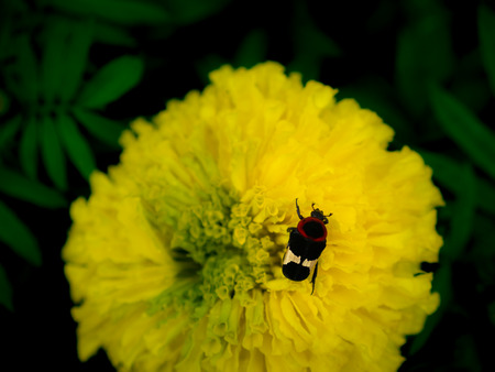 The Black Red Scarab Perched on Calendula Flower in The Garden