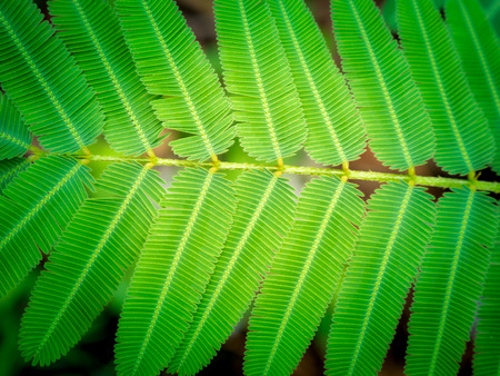 The Acacia pennata Willd Leaves Arranging on The Branch in The Garden Stock Photo