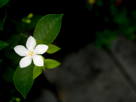 The Single White Gardenia Flowers Blooming in The Garden