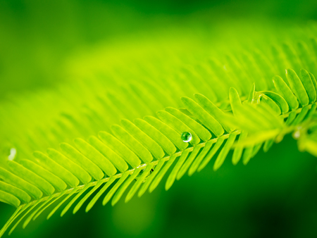 Rain Drop on The Edge of Climbing Wattle Leaf