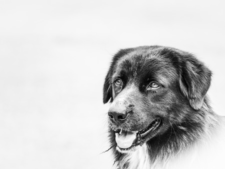 The Black Stray Dog Standing on The Street, Black and White Colors in Close up Banque d'images
