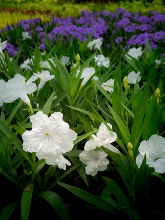 The White Relic Tuberosa Flowers Blooming in The Garden