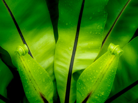 The New Leaves of Bird's Nest Fern Growing in The Garden after Rain