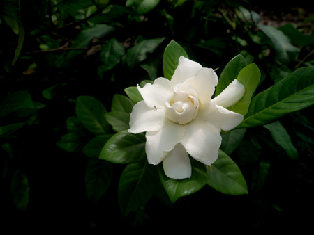 The Single White Gardenia Flower Blooming in The Garden