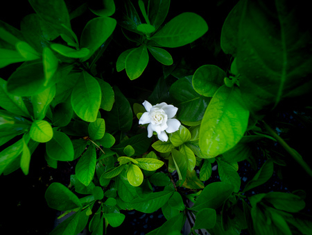 The White Gardenia Flowers Blooming in The Secret Garden