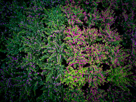 The False Heather Growing on Pots in The Tree Shop