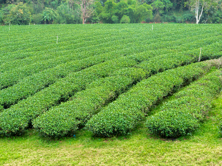 The Field of Tea Plantation in a Row at The North of Thailand
