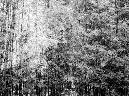 Texture of The Bamboo Park in The Temple , Black and White Imagens
