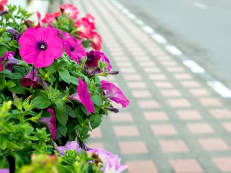 The Pink Petunia Flowers Blooming beside The Sidewalk