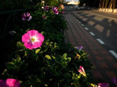 The Pink Rose Periwinkle Flowers Blooming beside The Sidewalk