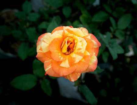The Orange Mixed Yellow Rose Blooming in The Garden Imagens