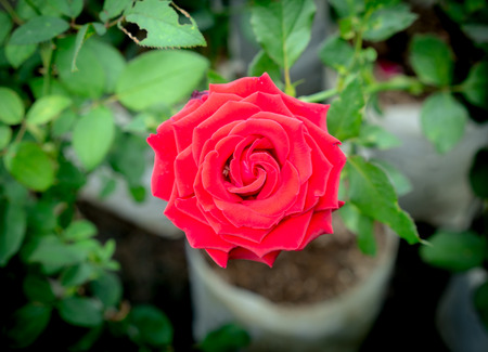The Red Rose Blooming in The Tree Shop
