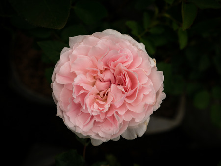 The Light Pink Rose Blooming in The Tree Shop