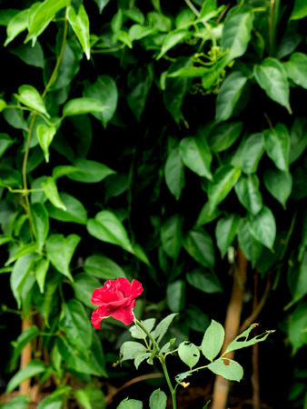 The Red Rose Blooming in The Bottom behind The Ivy Leaves