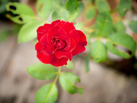 Red Rose Blooming