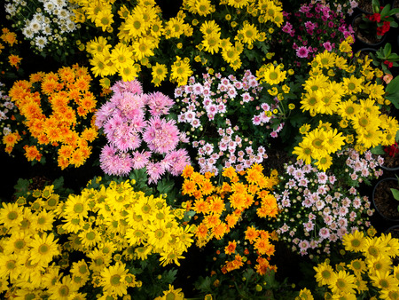 The Garden Chrysanthemum Variety of Colors are Blooming in The Garden