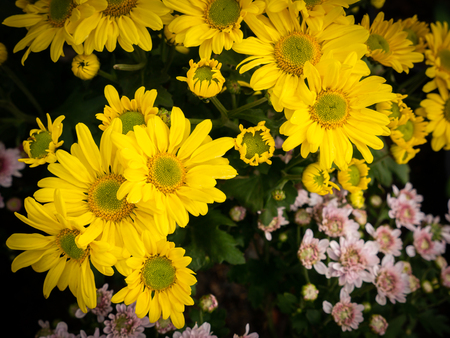 The Bouquet of Yellow Chrysanthemum Variety  Blooming in The Garden