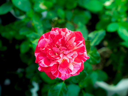 The Red White Rose Blooming in The Tree Shop Imagens