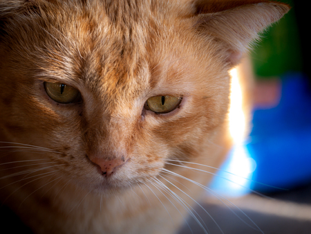 The Face of Yellow White Cat Sitting Peacefully