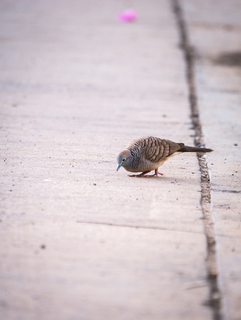 The Dove Look for Food on The Street Floor
