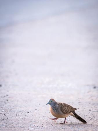 The Dove Walking on The Street Floor