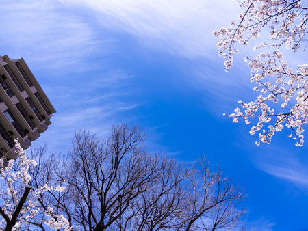 The Sakura Flowers Blooming with Building and Tree without Leaves, Ant Eye View Imagens