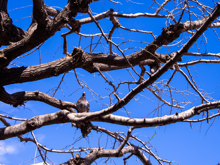 The Single Pigeon Standing on The Tree without Leaves