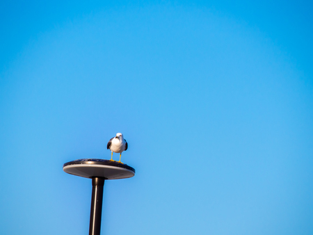 The Seagull Standing Calmly on The Lamp Pole
