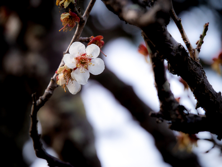 The Sakura Flower Blooming among The Other Wilted Flowers in The Same Tree