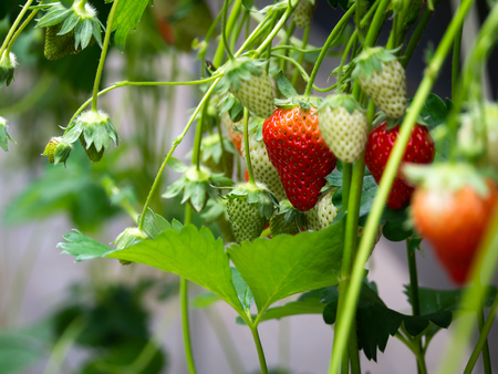 The Fresh Red Strawberry Fruits Hanging on The Tree Stockfoto