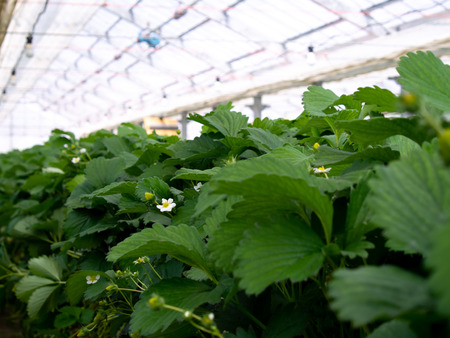 The Strawberry Flowers in The Closed System Farm Agriculture Imagens