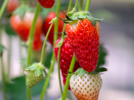 The Fresh Red Strawberry Fruits Hanging on The Tree Imagens