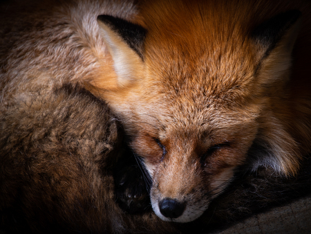 The Japanese Fox Curled up at The Zoo in Japan