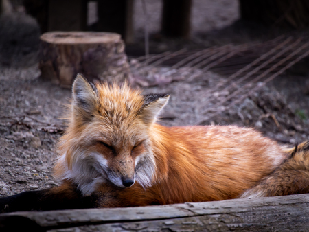 The Japanese Fox Sitting at The Zoo in Japan , Side View