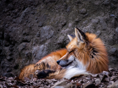 The Japanese Fox Curled up at The Zoo in Japan , Side View Imagens