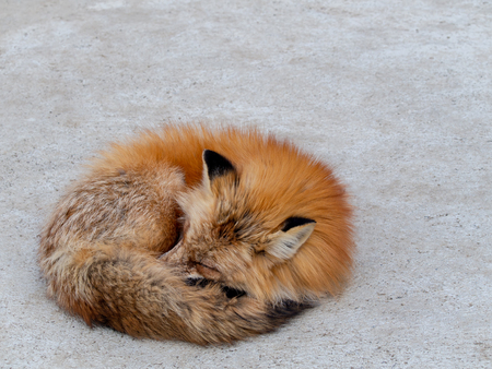 The Japanese Fox Curled up on The Road at The Zoo in Japan