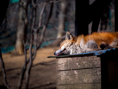 The Japanese Fox Sleeping with its Tongue on The Roof at The Zoo in Japan