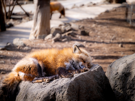 The Japanese Fox Sleeping on The Stone at The Zoo in Japan , Side View Imagens